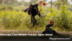 Beberapa Cara Melatih Pukulan Ayam Aduan