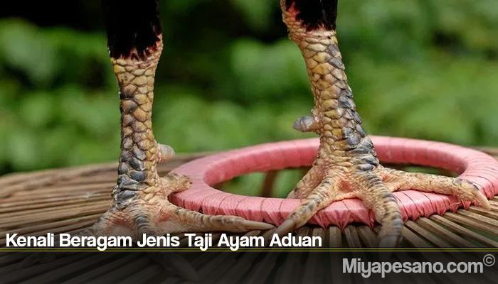 Kenali Beragam Jenis Taji Ayam Aduan