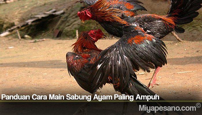 Panduan Cara Main Sabung Ayam Paling Ampuh