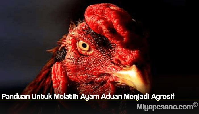 Panduan Untuk Melatih Ayam Aduan Menjadi Agresif